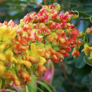 De Zuid-Amerikaanse taraboom. De zaden van deze boom vormen een van de twee natuurlijke bestanddelen van Homeostatine